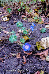 Blau wie die Treue (Bernsteindrache7) Tags: autumn color flora fauna flower bloom blossom blume blue garden park landscape panasonic lumix outdoor