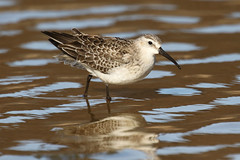 Curlew Sandpiper - Calidris ferruginea (Roger Wasley) Tags: curlewsandpiper calidrisferruginea bird wader migration fuencaliente saltpans lapalma canaryislands spain spanish europe european