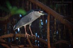 Black-crowned Night-Heron (philippine -travelclub.com) Tags: asien asiatin philippinen filipina sommer sonne strand meer palmen reise urlaub reisebegleitung urlaubsbegleitung erotik erotic sexy bikini girls girl frauen manila cebu bohol boracay panglao alonabeach tauchen taucher boot models photomodels fotomodelle posing fashion portrait philippines travel agency rundreise photosafari reisepartner urlaubspartner travelbuddy