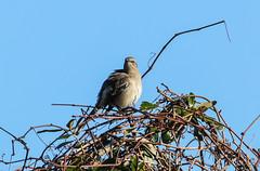 Mocking Cold (Gabriel FW Koch) Tags: mockingbird songbird treetop tree vines bluesky wild wildlife canon telephoto