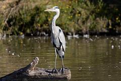 Heron (Le Mhaut Sbastien) Tags: oiseaux camargue pont du gau