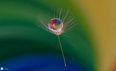 Colour explosion (Trayc99) Tags: colourful dandelion seed water droplet drop reflection bright floralart macro closeup green blue yellow