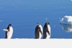 Adelie penguins Prospect Point, Antarctic Peninsula (onurbwa51) Tags: antarktis pinguine adeliepinguine prospectpoint antarktischehalbinsel