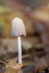 Mushroom in autumn (Eduardo Estllez) Tags: seta hongo fungi macro primerplano fondodesenfocado micologia natural naturaleza otoo bosque castao suelo medioambiente vertical color hervas extremadura espaa estellez eduardoestellez