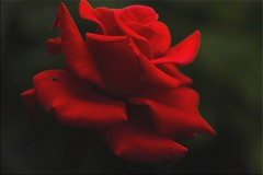 Rosa Rossa (Laralucy) Tags: rosarossa fiore natura macro closeup elaborazione ngc npc