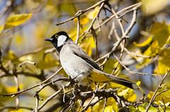 White-eared Bulbul (Esmaeel Bagherian) Tags:         bird birdsofiran birdwatching whiteearedbulbul bulbul esmaeelbagherian d7000 nikond7000 nikon tamron tamron150600 2016 1395 birdwatcher
