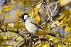 White-eared Bulbul (Esmaeel Bagherian) Tags: پرندگان پرندگانایران پرندهنگری پاییز بلبل بلبلخرما اسماعیلباقریان حیاتوحشایران bird birdsofiran birdwatching whiteearedbulbul bulbul esmaeelbagherian d7000 nikond7000 nikon tamron tamron150600 2016 1395 birdwatcher