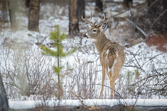 White-tailed Deer (Turk Images) Tags: borealforest eastslope jaspernationalpark odocoileusvirginianus rockymountains whitetaileddeer alberta cervidae mammals fall staging