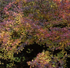 Pirates Cove (Harry Lipson) Tags: spyrea shrubbery foliage leaves autumn fall harrylipson harrylipsoniii