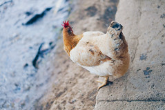 Da Lat (dolosan) Tags: dalat vietnam travel animal chicken