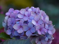 Hydrangea - Hortensia (joeke pieters) Tags: 1310150 panasonicdmcfz150 hortensia hydrangea bloem flower blauw blue paars purple november