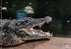 Jaws (creati.vince) Tags: andhra creativince fauna horsleyhills travel trip alligator jaws