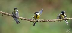 Mésange charbonnière (Tifaeris) Tags: greattit mésangecharbonnière paridés parusmajor passériformes bird oiseau