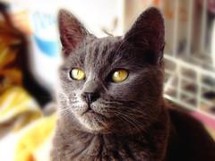 Otro de mis gatitos (melyescamilla1) Tags: cat cats gato gatito michi rudo gatorudo yellow eyes cute animal animals cuteanimals animales beautifulanimals gatitos meow photography felino gatogris fatcat
