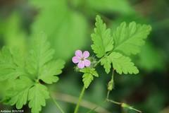 Petite fleur (antoinebouyer) Tags: fleur violet vert feuille nature