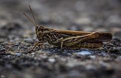 Wind und der Regen, Steine, Bäume, Tiere, sogar kleine Insekten wie Ameisen und Grashüpfer. Wir versuchen sie zu verstehen, nicht mit dem Kopf, sondern mit dem Herzen, und ein winziger Hinweis genügt uns, ihre Botschaft zu erfassen (roland_lehnhardt) Tags: canon eos60d ef100mmf28usm insekten insect bug tiefenschärfe schärfentiefe unschärfe dof pov bokeh background natur nature close up makro makroaufnahme macro tierportrait tiere animals wildnis grashüpfer grasshopper neoptera orthoptera caelifera acrididae gomphocerinae