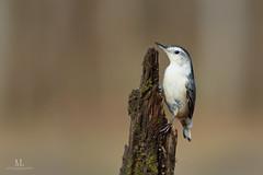 Sittelle  poitrine blanche - White-breasted nuthatch - Sitta carolinensis (Maxime Legare-Vezina) Tags: bird oiseau nature wild wildlife animal ornithology fauna faune biodiversity winter hiver canon