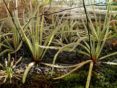Drosera regia (Laurent Moulin photographie) Tags: drosera regia parc de la tete d or plante carnivore carnivorous plant serre greenhouse