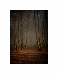 Silence is Golden (silver/halide) Tags: fog mist woods forrest scorrier leaves autumn winter silence d750 niftyfifty 50mm18g russet golden johnbaker cornwall