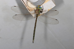 Australian Duskhawker (Jenny Thynne) Tags: insect dragonfly australia brisbane queensland odonata aeshnidae australianduskhawker austrogynacantha heterogena