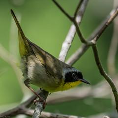 Woodland sprite (Explored) (Fred Roe) Tags: nature birds wildlife birding birdwatching warbler birdwatcher comm peacevalleypark commonyellowthroat geothlypistrichas explored nikond810 nikkorafs80400mmf4556ged lca81a0516