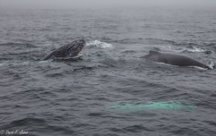Humpback Whales (Baleias de Bossa) @ Boston (Dario F. De Jesus) Tags: new england boston de aquarium whales humpback bossa baleias