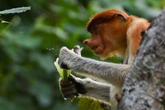 Female Proboscis monkey (Nasalis larvatus) ripping open a pandanus leaf. (JulGlouton) Tags: monkey rainforest wildlife sarawak borneo endangered primate bako proboscis primates nasique longnosed cercopithecidae colobinae nasalis larvatus