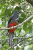 Bairds Trogon (arthurpolly) Tags: wild holiday nature beautiful birds photoshop canon eos costarica wildlife avian lafortuna nationpark naturesfinest 100400l bairdstrogon platinumphoto avianexcellence flickrdiamond unforgettablepictures natureselegantshots 7dmk2 elements13
