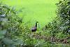 Jungle Peahen (Debmalya Mukherjee) Tags: bird jungle maharastra peahen bhandardara 18135 canon550d debmalyamukherjee