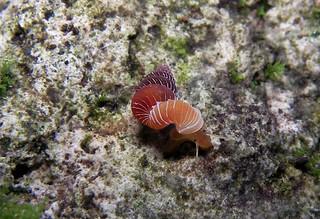 plectostoma salpidomon