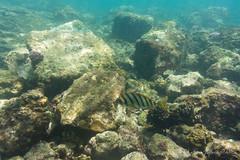 (GenJapan1986) Tags: 2015            nikon1aw1 sea pacificocean tokyo japan island travel underwater hachijoisland