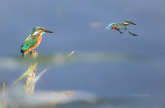 Kingfisher (Mritz Nationalpark) (Sakerfalke) Tags: birds kingfisher eisvogel mritznationalpark warnkersee sakerfalkefotografie