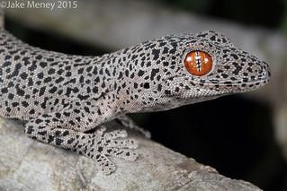 Golden-tailed Gecko (Strophurus taenicauda)