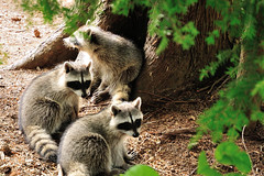 Raccoon Family (J-Fish) Tags: canada vancouver mammal stanleypark raccoon procyonlotor britishcolombia d300s 1685mmf3556gvr 1685mmvr