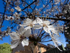 An arch of plum blossoms. (Simonster) Tags: flowers spring canberra plumblossoms