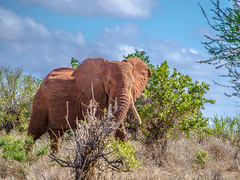 Walking with elephants (Michael Russian) Tags: africa park sky elephant reflex nikon kenya savannah tsavo tsavoeast d5100