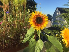 Home Grown (tangent) Tags: sanfrancisco flowers home backyard deck sunflower victorianhouse
