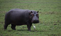 Daylight Hippo (meredith_nutting) Tags: africa heron walking daylight rwanda land hippo hippopotamus grazing eastafrica easternafrica
