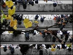 Heard it through the Grapevine, Schloss Charlottenhof - Park Sanssouci, Potsdam (Andr-DD) Tags: park autumn fall germany deutschland wine herbst grapes sanssouci potsdam brandenburg grape grapevine wein parksanssouci weintrauben
