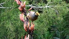 "Minor (Laurence Bee) Tags: new macro bird nature birds animal bright outdoor zealand nectar minor blackbird tui thrush apis mellifera specnature ""depth field"" specanimal"
