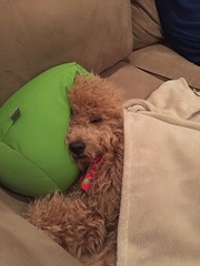 dazzles-boy-manny-loves-his-pillow-and-blankie-at-nap-time_17120552117_o