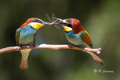 Abejarucos 35 (jimenezcuestapepe) Tags: fauna sevilla aves abejaruco andalucia espana localizacion morondelafrontera