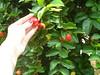 1/366 Lovely little orchard (JessicaBelotto) Tags: foto orchard days honey photograph 365 fotografia acerola projeto dias mão roxo árvores pomar fotografico 366 366daysofhoney
