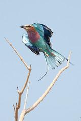 SK7_3202 (glidergoth) Tags: park south safari national zambia lilacbreastedroller luangwa coraciascaudatus
