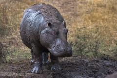 She Loves Me Not  9347 (Dr DAD (Daniel A D'Auria MD)) Tags: animals tanzania hippo hippopotamus mammals hippos riverhorse hippopotamusamphibius animalsofafrica march2013 danieldauriamd childrenswildlifebooksbydanieldauriamd drdadbookscom march2014 ngorongorowildlifeconservationarea september2015