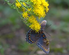 You need a wingman? (KsCattails) Tags: bee butterfly fall friend goldenrod nature outdoor overlandparkarboretum purple redspottedpurple wingman yellow buddies buddy pal nikon d7000 kscattails opagc