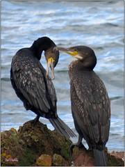 Cormorants, Swineley Point, Bangor, Northern Ireland (BangorArt) Tags: cormorant phalacrocoraxcarbo bird seabird northdown coastalwalk swineleypoint bangor countydown northernireland ulster paulanderson bangorart