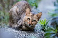 My Feral Friend  (Sharleen Chao) Tags: feline 5dmarkiii 70200mm day taiwan taipie feralcat garden bokeh            kitty