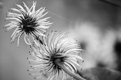 spiral seedheads 283/365 (#christopher#) Tags: blackandwhite spiral seedhead depthoffield plant