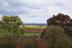 clouds and the canola paddocks with isolated paddock trees_8392 (gervo1865_2 - LJ Gervasoni) Tags: country landscape pyrenees hwy between carisbrook newstead canola farming paddocks victoria australia 2016